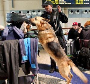 Psovodi na letištích tvoří nedílnou součást bezpečnostních kontrol