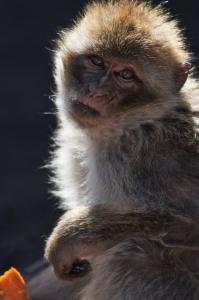 Marocká opička
