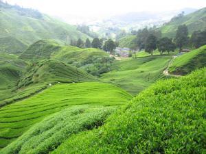 Úchvatné čajové plantáže