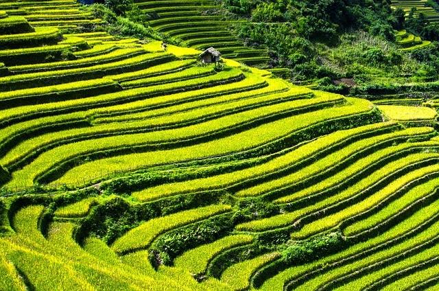 Terasovitá rýžová pole typická pro Vietnam, Zdroj: Pixabay.com