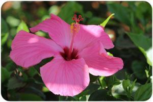 Květina - Kapverdské ostrovy