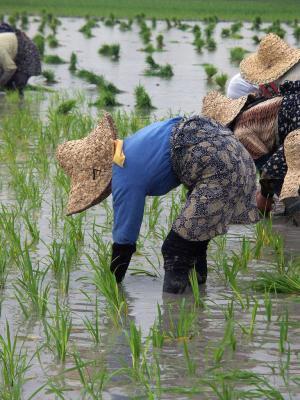 Pracovnice na rýžovém poli