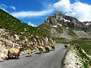 Na cestě přes pohoří Durmitor jsme potkali jen stáda krav, koz a ovcí.