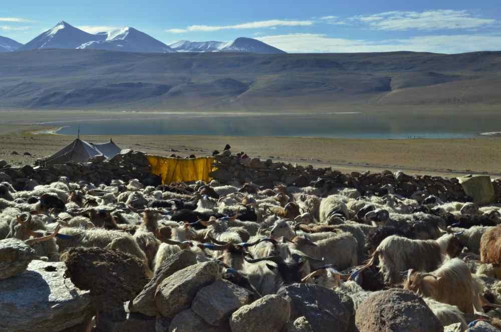 Stádo kašmírských koz, které darujeme nomádům díky projektu Koza ProTibet. (Foto: Johana Krajčírová)