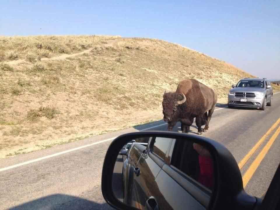 Na silnici tu potkáte i bizona
