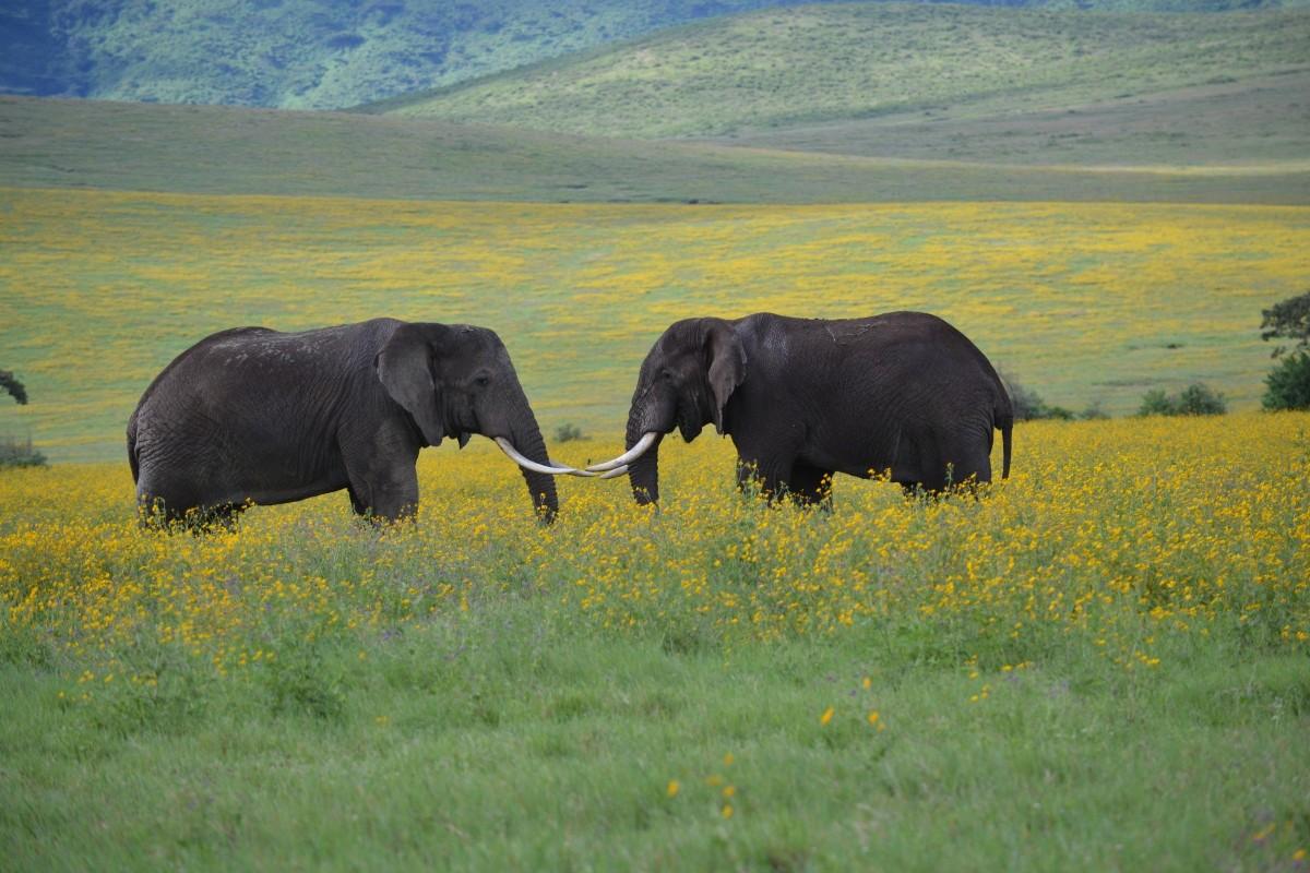 Sloni v NP v Tanzánii
