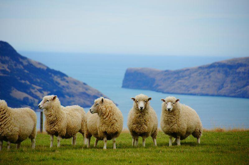 Ovce na Novém Zélandu