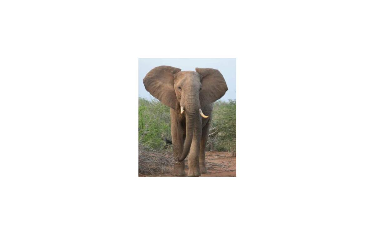Slon na safari z blízka
